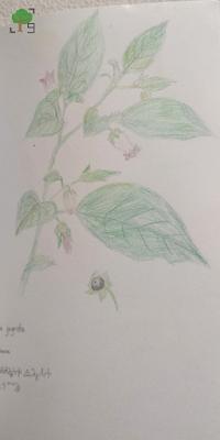 trująca roślina, zielnik, zielarstwo, rysunek, rysunki, rośliny, botanika, biologia, natura, atropina