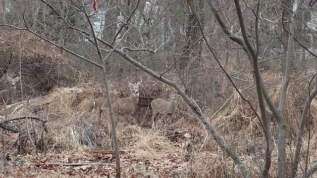 Two bucks and a doe in the woods