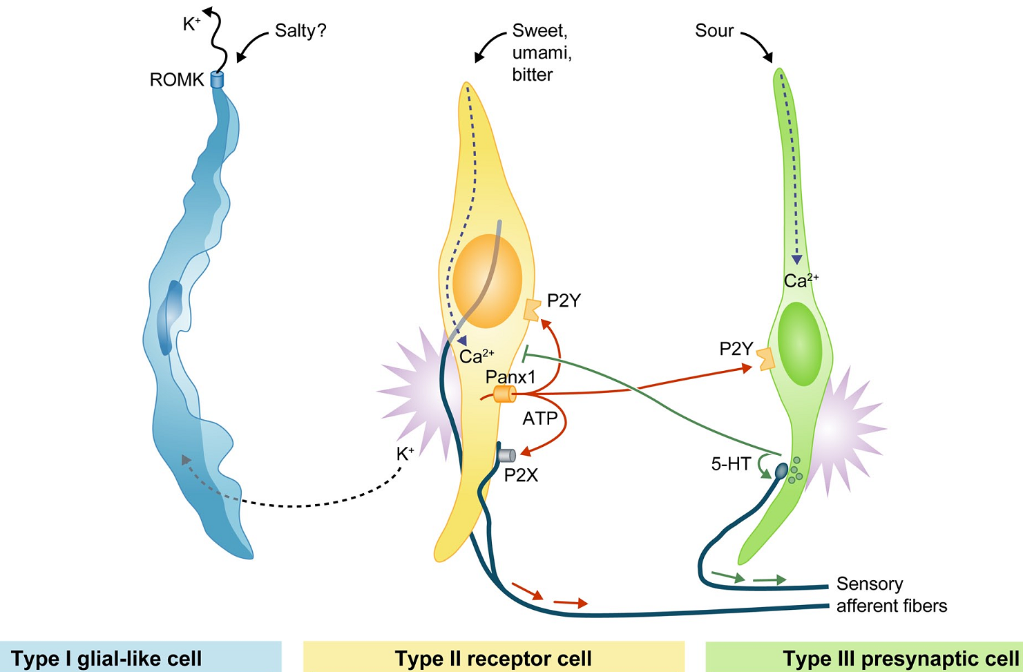 hight resolution of the three main types of taste receptor cells in the taste bud note that none of the cells forms a canonical synapse with afferent fibres