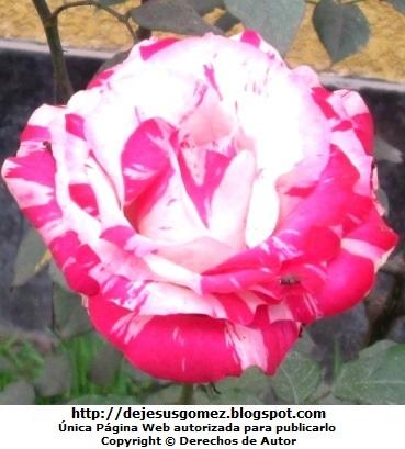 Foto de una bella rosa con intrusos (moscas). Foto de una rosa tomada por Jesus Gómez