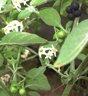 Hierba mora (Solanum nigrum)con flores y frutos