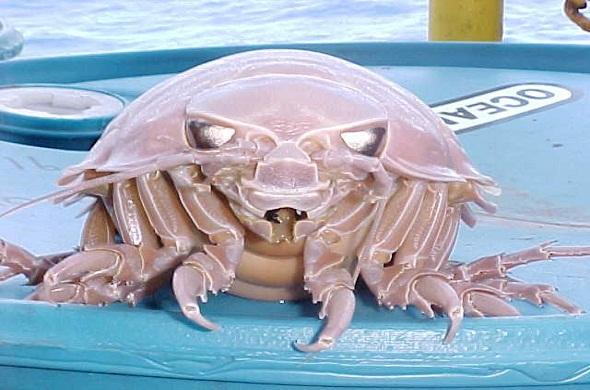 giant-isopod-الآيزوبود-العملاق