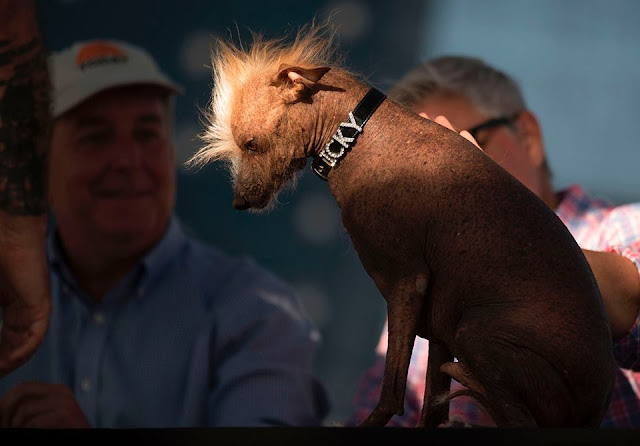 Homely dogs compete for World Ugliest Dog, entertainment news