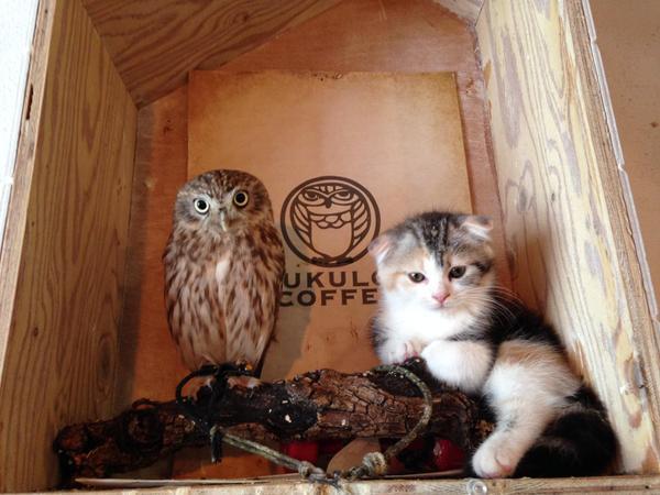 Tình bạn không biên giới giữa cặp đôi cú nhỏ và mèo con