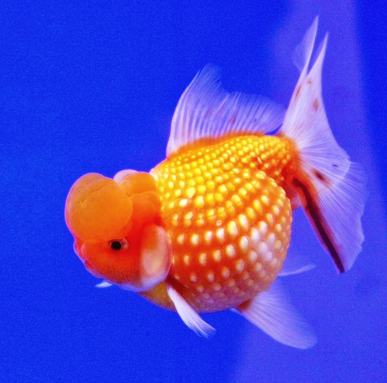 fish share GAMBAR IKAN HIAS KOI PILIHAN 2