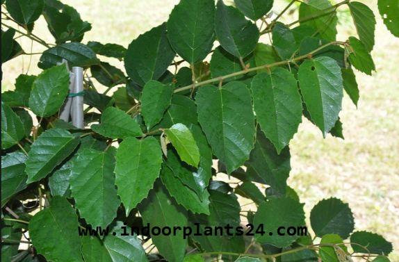 Vitadacae KANGAROO VINE Indoor Plant