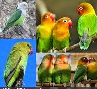 Jenis - Jenis Burung Love Bird Serta Penyebarannya