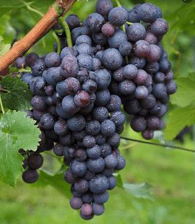 10 Manfaat Buah Anggur Untuk Kesehatan Tubuh