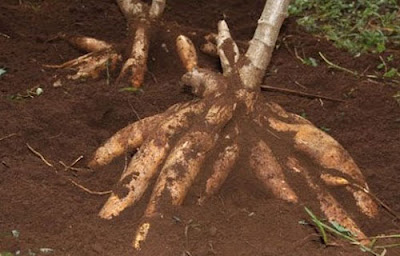 Cara Budidaya Ketela Pohon