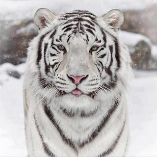 Tigre Blanco 004