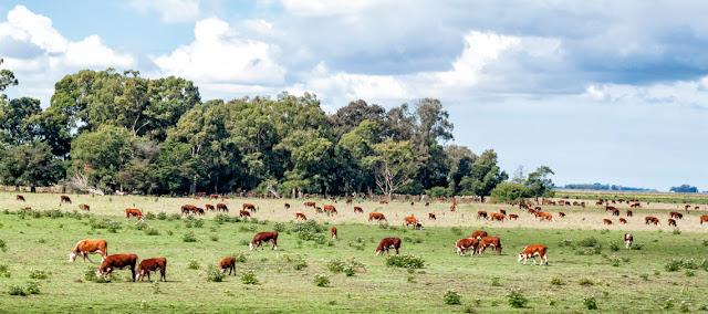 Vacas pastando en el campo.