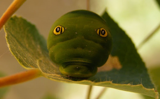 How do we know eyespots mimic eyes? | Caterpillar Eyespots