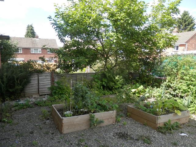 Diary of a suburban edible garden, June 2017.  By UK permaculture garden blogger secondhandsusie.blogspot.com #suburbangarden #ediblegarden #ukpermaculturegarden