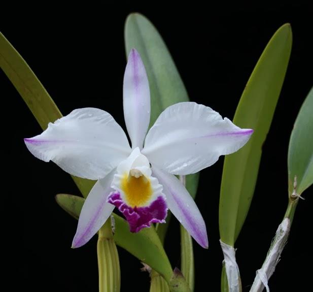 Phân loại hoa lan cattleya