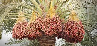 Inilah sebab-sebab buah Kurma Tidak dapat Berbuah di Indonesia