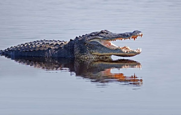 Pastor intenta caminar sobre el agua imitando a Jesus y se lo devoran los hambrientos cocodrilos