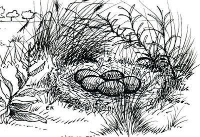 Inambú chico común Nothura maculosa