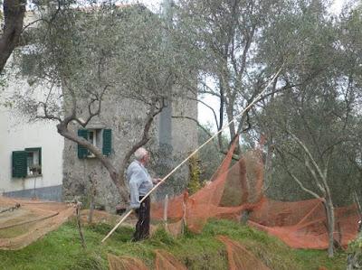 Carpeneggio bacchiatura olive