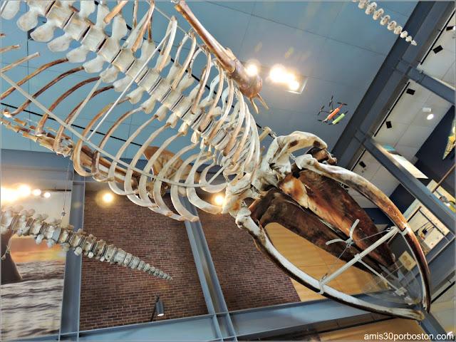 Esqueleto de KOBO en el Museo de las Ballenas de New Bedford