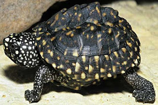 Indian Black spot turtle