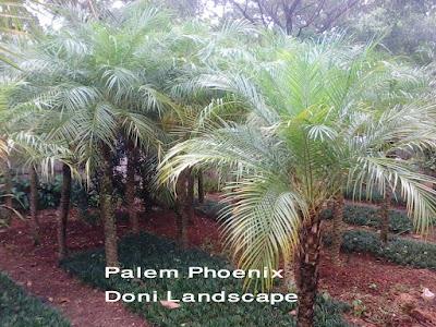 POHON PALEM PHOENIX