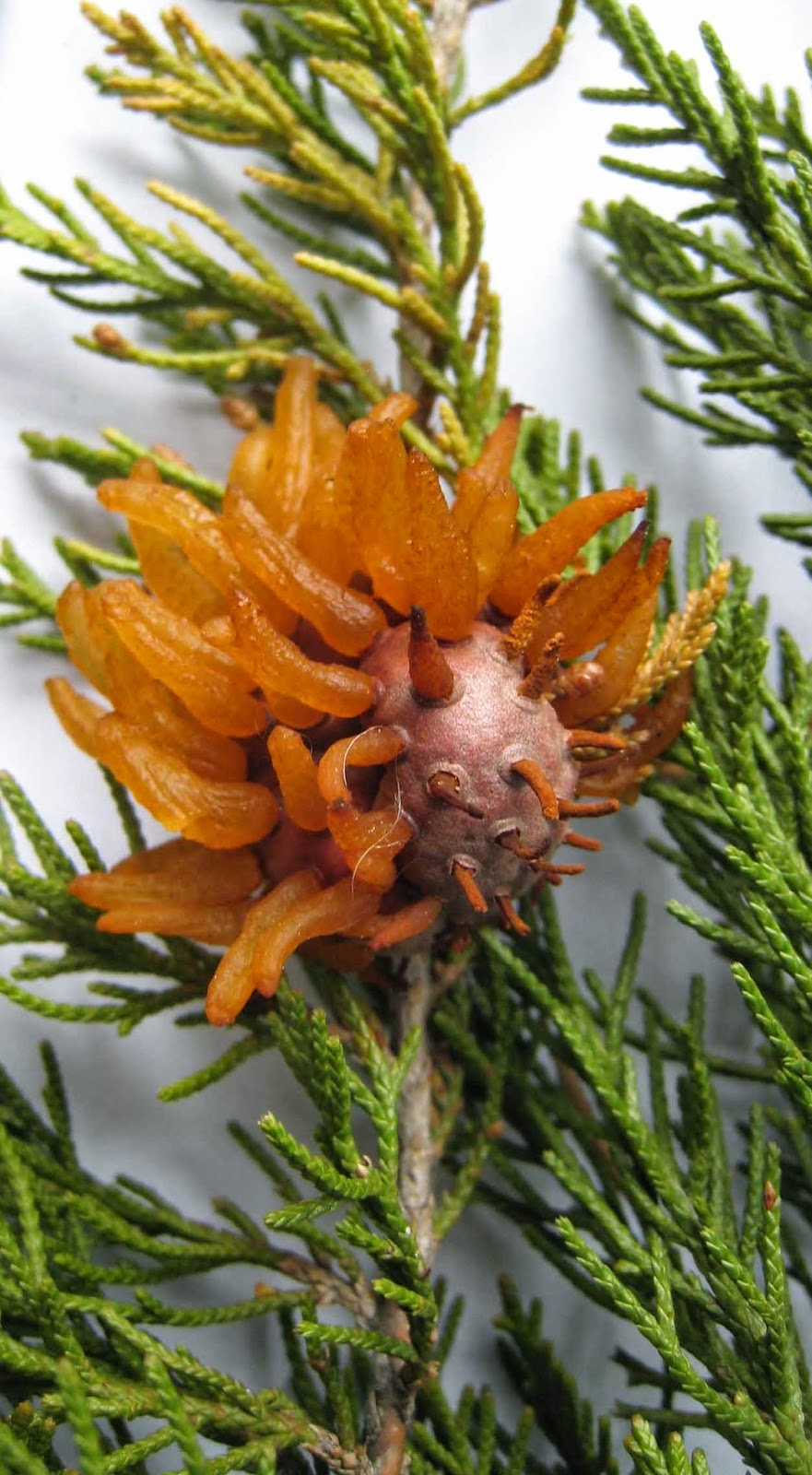 close-up of cedar-apple rust fungus