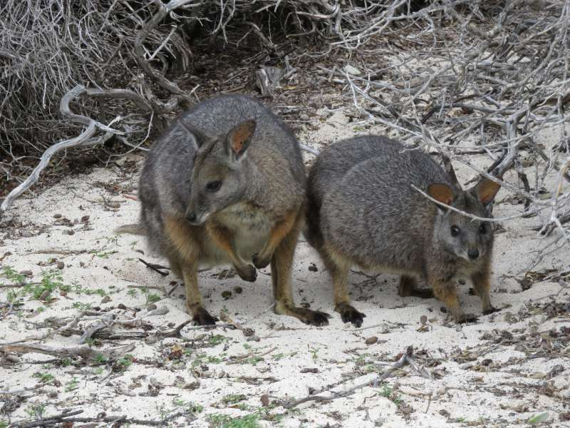 Tammar Wallabies on East Wallabi Island