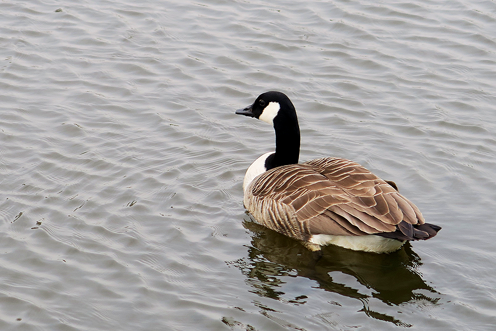 Canadian goose in the gardens at Ox Pasture Hall, Scarborough