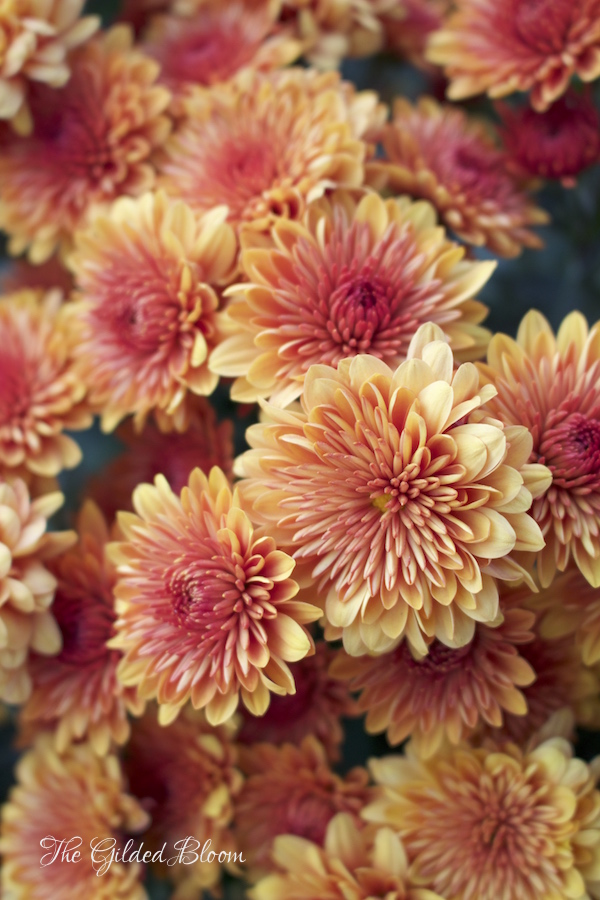 Garden Flowers for Fall- www.gildedbloom.com