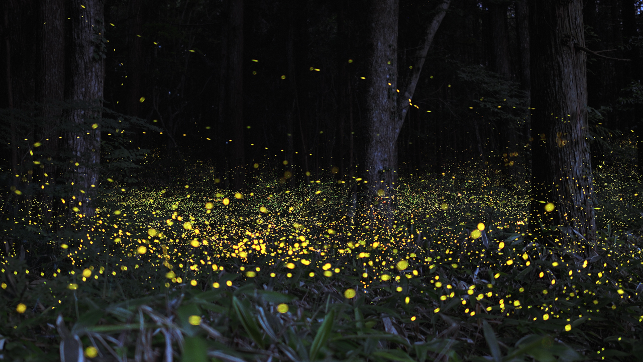 what is bioluminescence why do fireflies glow during night akshay