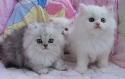 Cara Merawat Anak Kucing Persia Kitten Persia Umur 1 3 Bulan