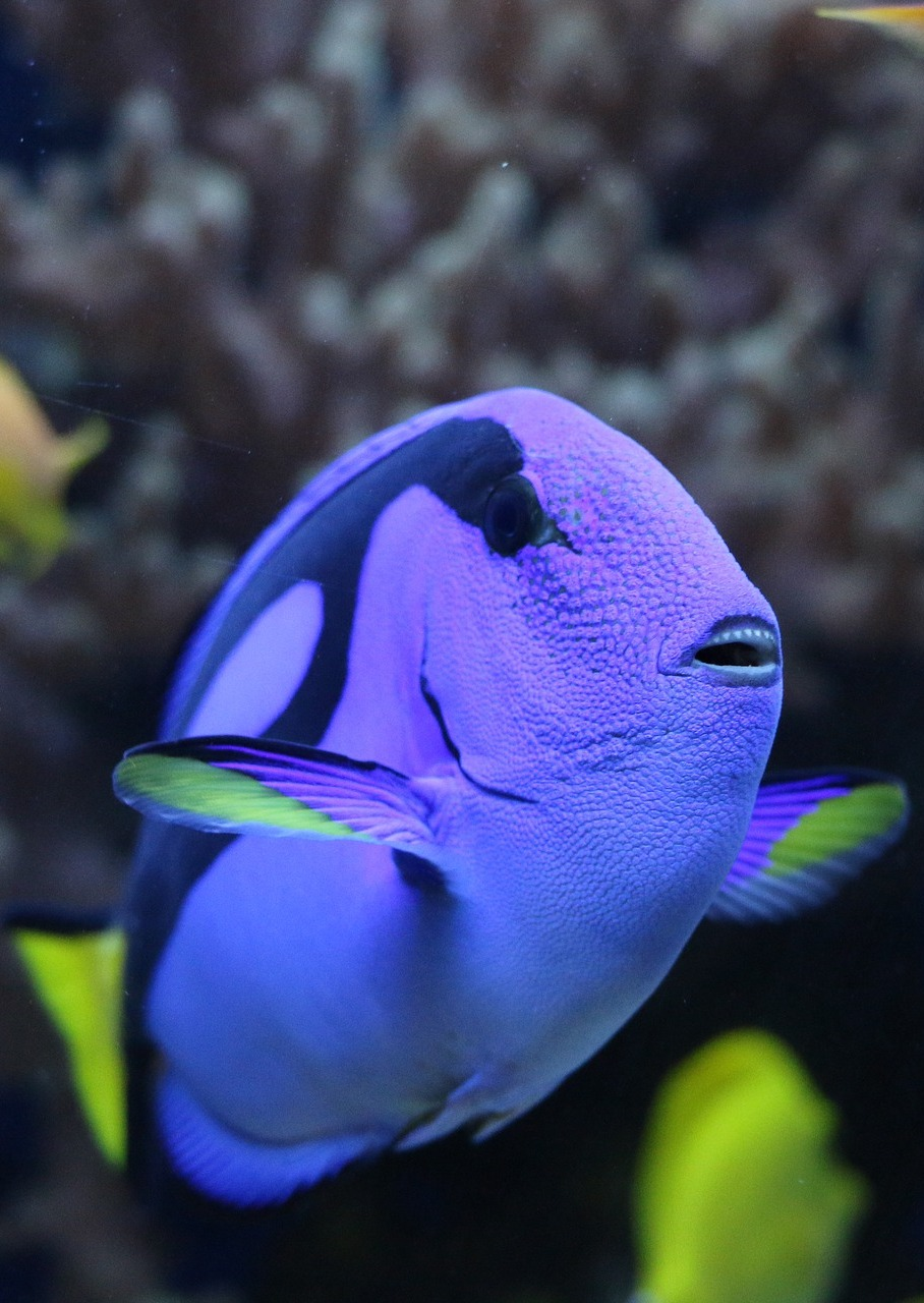 Picture of a palette surgeonfish.