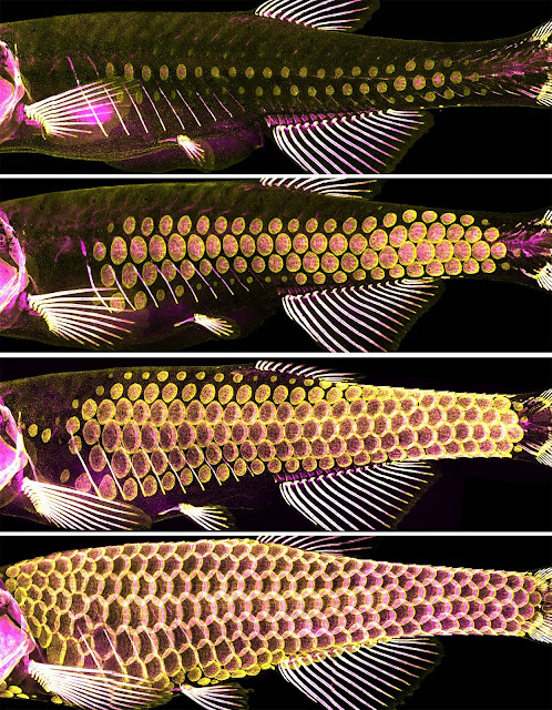 The ancient armour of fish -- scales -- provide clues to hair, feather development