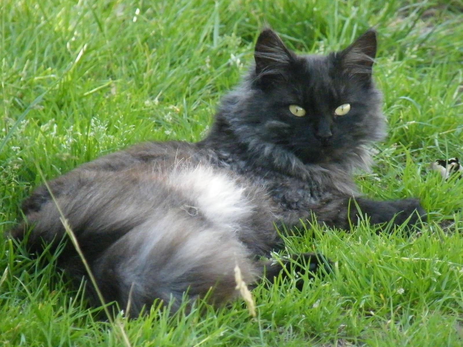 Tali's Tails: Black Smoke Cat ... Again