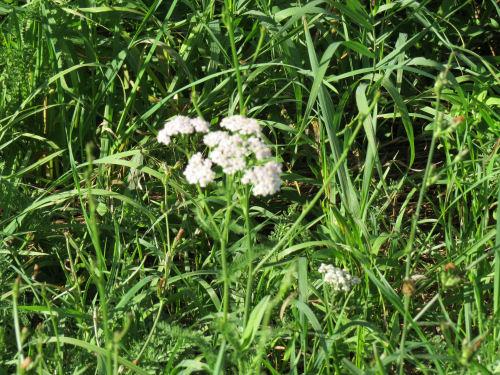 white yarrow