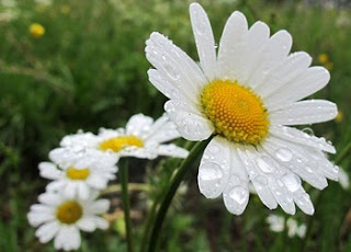 bunga-aster-gresik