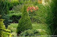 Świerk biały 'Conica'- Picea glauca 'Conica'
