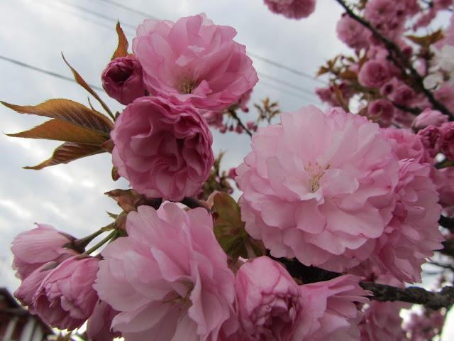 Fiori Prunus serrulata 'Kanzan'