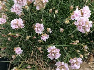 Flores de color rosa pálido de Armeria marítima