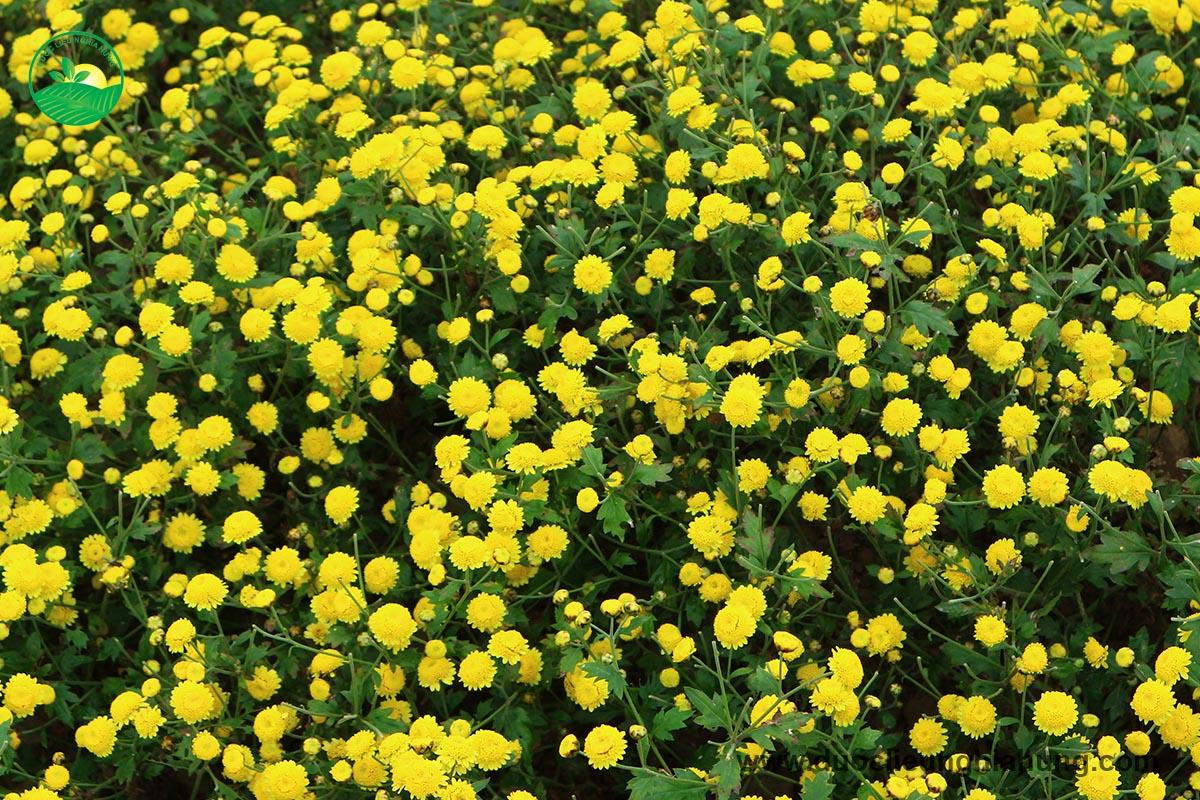 Rực vàng sắc hoa hoàng cúc