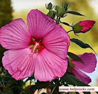 Hibiscus हिबिसकस
