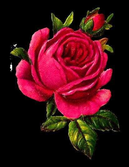 Antique Images Digital Pink Rose Download Flower Botanical Art