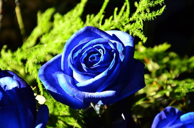 hoa hong xanh duong dep