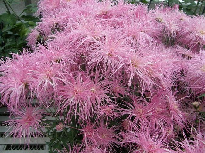 Chrysanthemum × morifolium 'Wisp of Pink' Foto Longwood Gardens