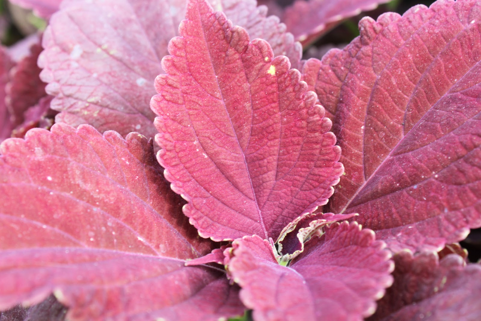 Strange S Garden Center Coleus The Most Versatile Annual