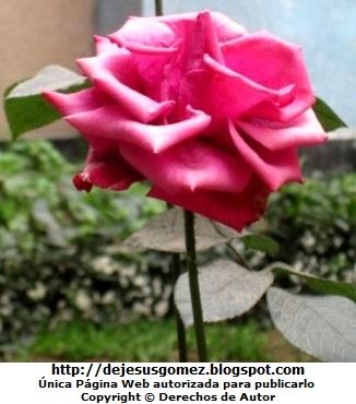 Foto de una rosa linda con tallo largo de Jesus Gómez