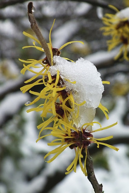 How to prune Witch Hazel