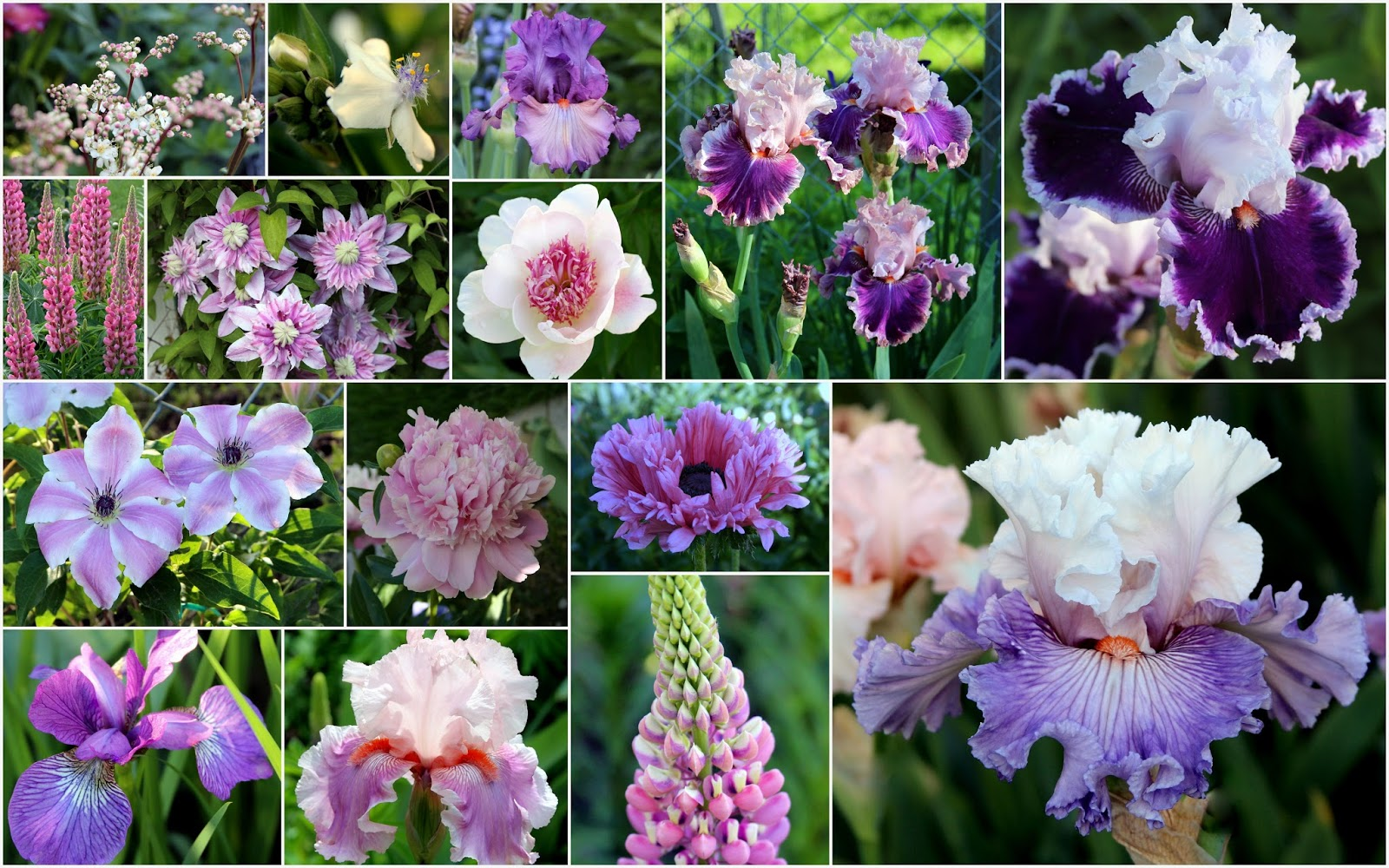 World Of Irises Talking Irises Tall Bearded Irises Companion