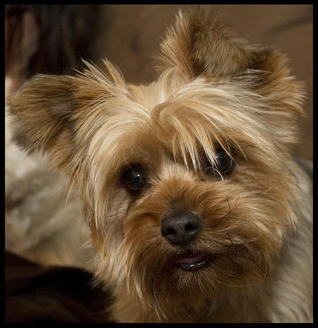 Yorkie cute toy puppy picturesYorkshire terrier   Nice ...