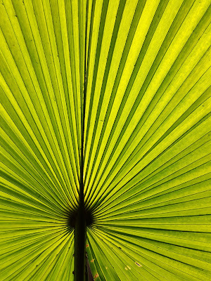 A Minimalist Photo of lines in the green palm leaf shot by Samsung Galaxy S6 Smart Phone